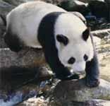 Panda bij rivier
