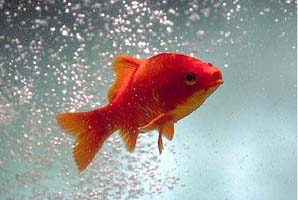 kieuwen goudvis