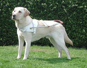 blindengeleidenhond