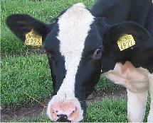 oormerk koe