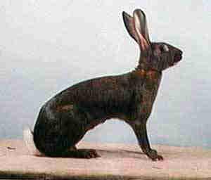 belgischehaas
