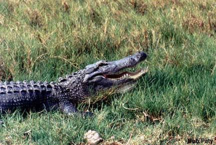 leven er in amerika krokodillen