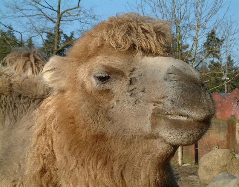 lastdieren kameel