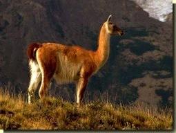 lastdieren lama