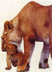 leeuwen welpen