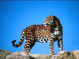 De Jaguar
