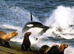 orka eten