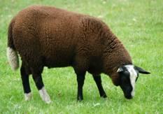 zwartbles schaap