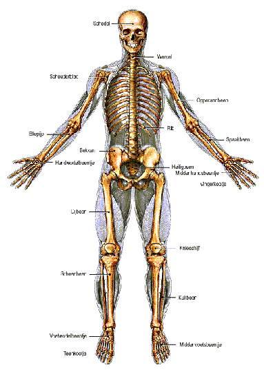 Super Menselijk lichaam - Spreekbeurten.info FJ-01