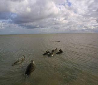 Veel minder zeehonden op de wadden