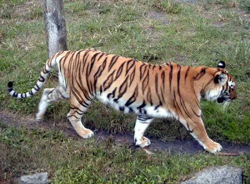 tijger informatie spreekbeurt