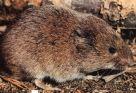 soorten ratten