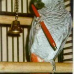 Grijze roodstaart papegaai