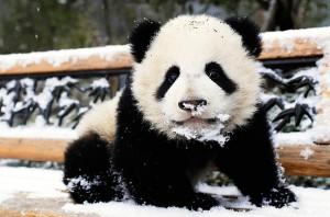 panda-jong