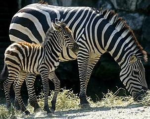 voortplanting zebra